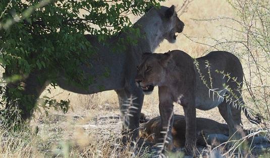 photo msiafricaroadtrip.com trois lionnes après leur repas dans le parc national d'Etosha en namibie.
