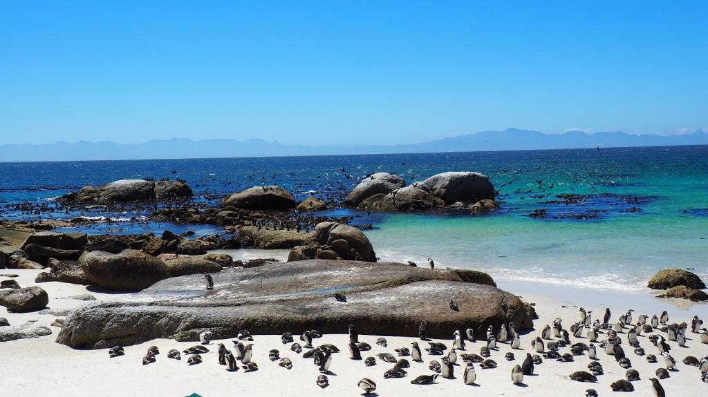 photo msiafricaroadtrip.com des Manchot du cap sur la plage de Foxy Beach, au Boulders National parc. Des centaines de Manchots du cap envahissant la plage de sable blanc. Afrique du sud Boulders beach penguin AFRIQUE DU SUD 2016 -Boulders beach penguin Colony-