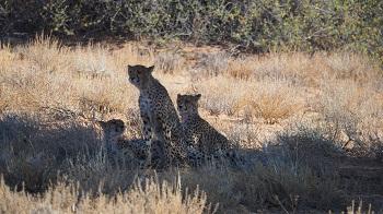 Guépards dans le KTP Afrique du Sud