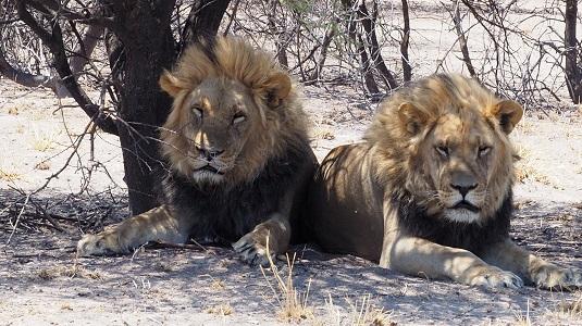 deux lions du Kalahari dans le CKGR BOTSWANA
