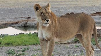LIONNE à piper's pan dans le CKGR Botswana