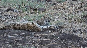 Maman Léopard et son bébé dans le Kruger Afrique du Sud