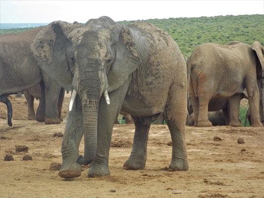 éléphants au parc ADDO ELEPHANT Afrique du Sud