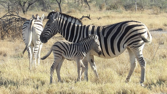 photo msiafricaroadtrip.com la maman et le bébé zèbre dans le parc national d'Etosha en namibie.