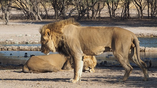 photo : msiafricaroadtrip.com deux lions au bord du point d'eau de SUNDAY DANS LE CENTRAL KALAHARI GAME RESERVE AU BOTSWANA