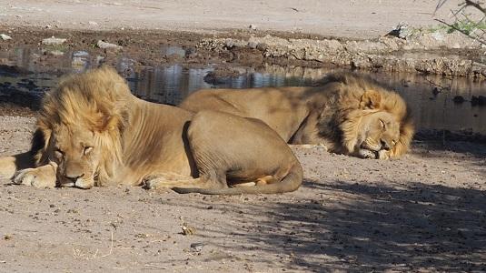 photo de deux lions en train de dormir au bord du point d'eau de SUNDAY CAMP au CKGR, Central Kalahari Game Réserve. Dans le Kalahari Botswana.