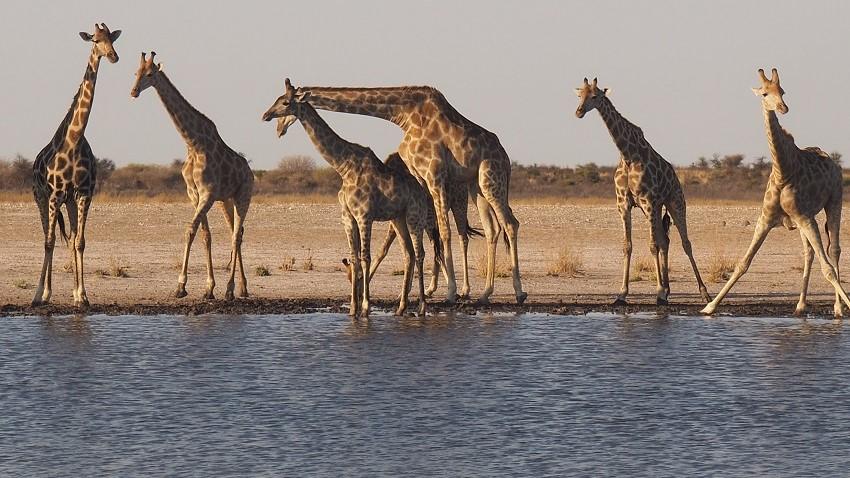 photos msiafricaroadtrip.com plusieurs girafes boivent au point d'eau de Motopi dans le CKGR le Central Kalahari Game Reserve au Botswana.Point d'eau à Motopi -CKGR- notre Road Trip 2018 au Botswana
