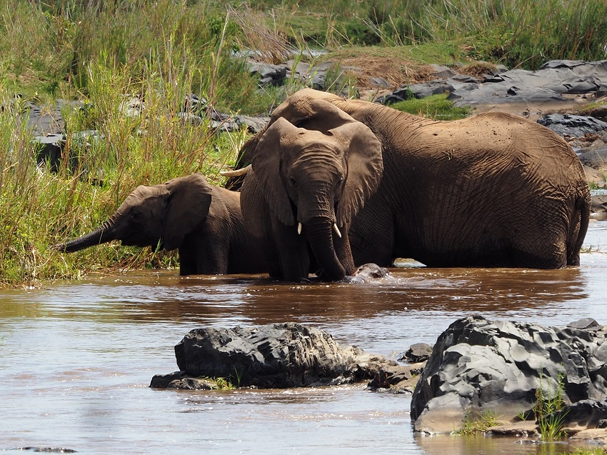 éléphants adulte et deux jeunes éléphants au Parc Natinal du Kruger Afrique du Sud