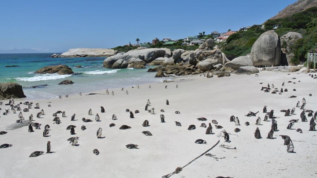 photo les manchots du Cap à  Boulders sur la plage de Fory beach Afrique du Sud.