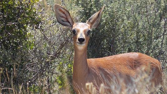 photo msiafricaroadtrip.com biche parc du Karoo afrique du sud.