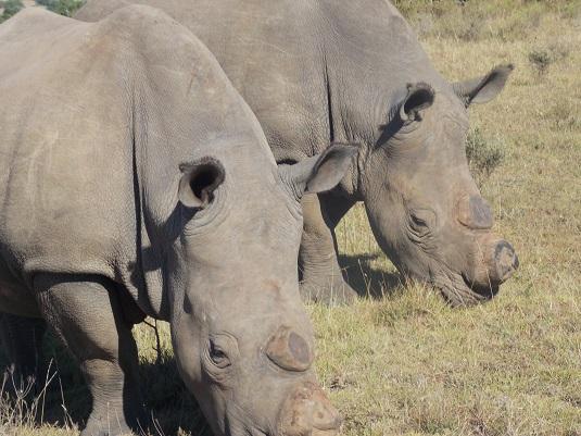 photo Schotia Réserve Privé, deux rhinocéros avec les cornes coupées Afrique du Sud