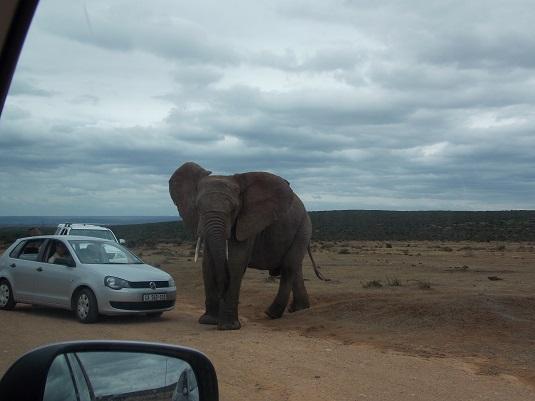 ADDO ELEPHANT un éléphant adulte Afriqur du Sud