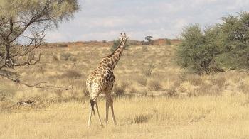 Girafe KTP Afrique du Sud