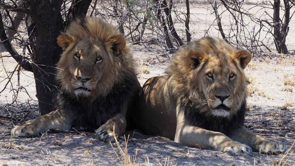 photo msiafricaroadtrip, Les deux frères LIONS DU KALAHARI BOTSWANA -2018-Restez toujours très vigilant ! Au Botswana, contrairement à l'Afrique du Sud et la Namibie. Vous n'êtes pas protégés des animaux sauvages par des enclos sécurisés.