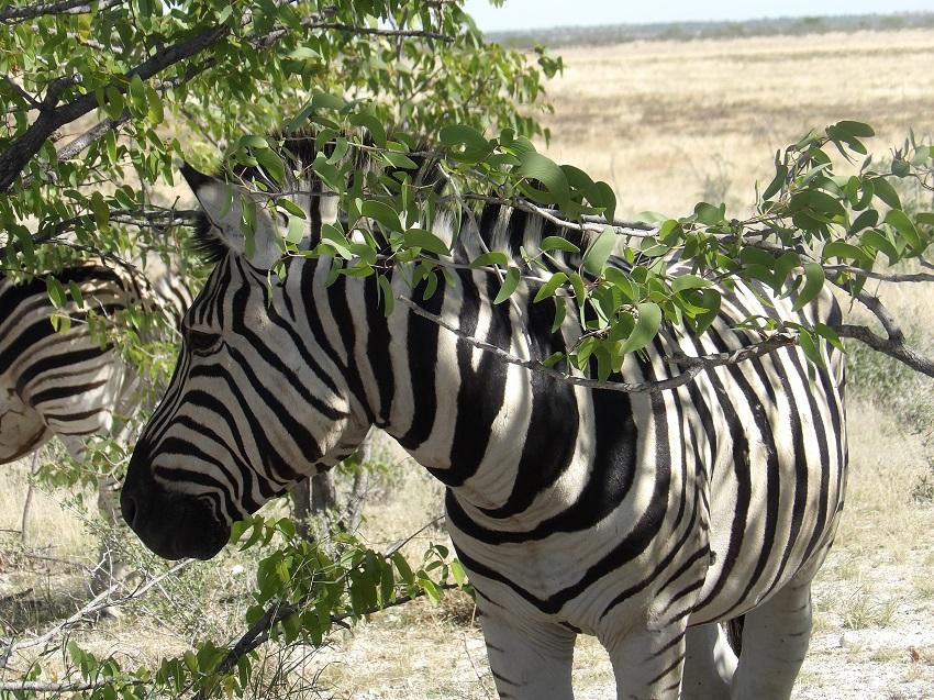 photo msiafricaroadtrip.com zébre dans le parc estocha en Namibie