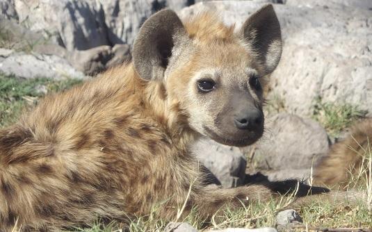 photo msiafricaroadtrip.com bébé hyène tachetée dans le parc national d'Etosha en namibie.