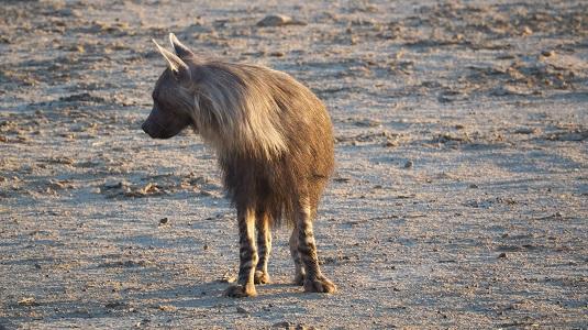 Hyène brune au KTP dans le Kalahari en afique du sud
