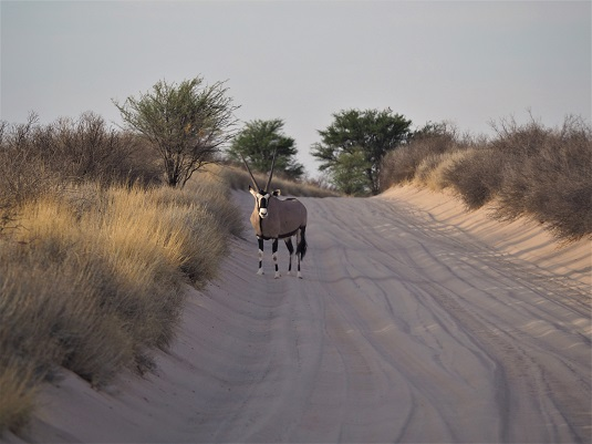 photo msiafricaroadtrip.com sur une piste dans le KTP Kalahari avec un Oryx au milieu de la piste. Afrique du sud