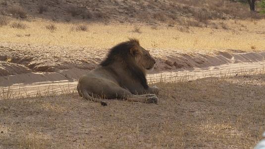 photo msiafricaroadtrip.com lion sur la piste menant à Mata-Mata Rest Camp  au KTP dans le Kalahari. Afrique du Sud