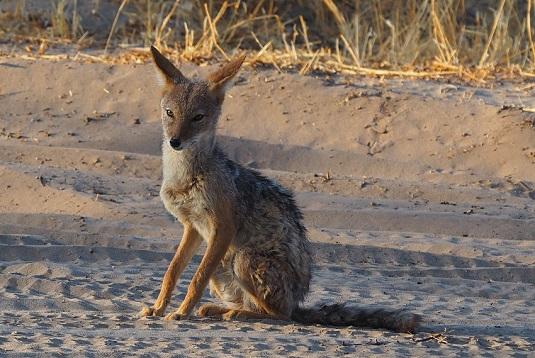 coyote Kalahari CKGR kalahari Botswana