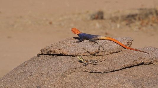deux lézards Namibie