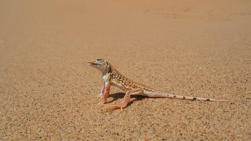 photo msiafricaroadtrip.com un lézard (l'Aporosaura Achietae) dans les dunes de Sandwich Harbour Namibie
