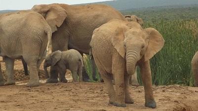 éléphant adultes avec bébé au parc ADDO ELEPHANT Afrique du Sud
