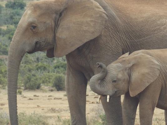 éléphanteau et sa maman au parc ADDO ELEPHANT Afrique du Sud