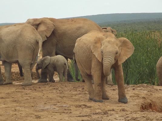 éléphanteaux à ADDO ELEPHANT Afrique du Sud
