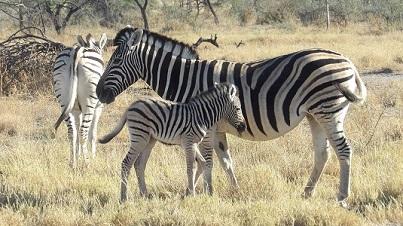 Zébre et son bébé dans le parc Etosha NAMIBIE