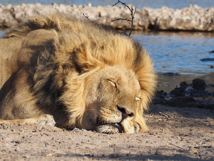 msiafricaroadtrip.com un lions crinière noire CKGR Botswana