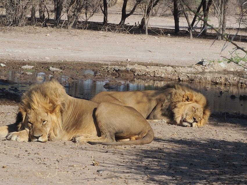 msiafricaroadtrip.com deux lions crinière noire à Sunday pan CKGR Botswana