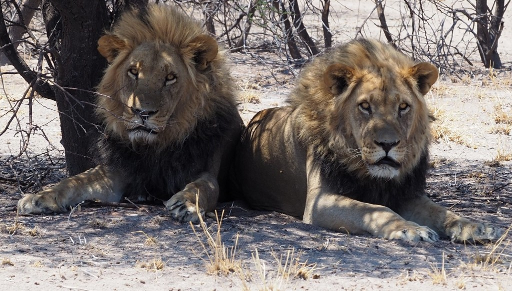 Photo msiafricaroadtrip.com  Deux lions du Kalahari à crinière noire au CKGR Botswana