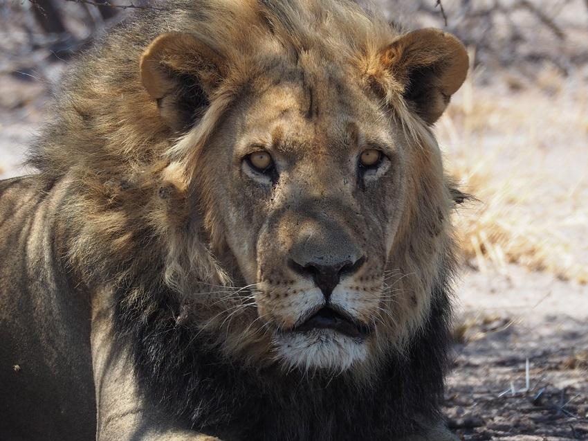 msiafricaroadtrip.com lions crinière noire CKGR Botswana