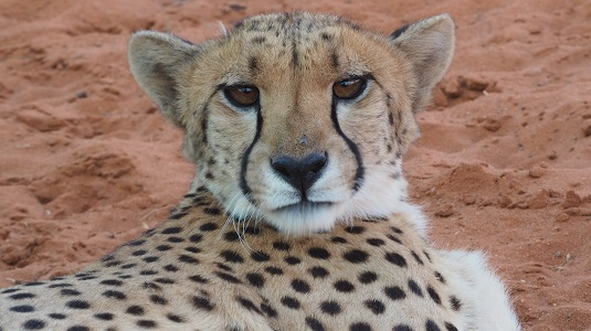 Guépard au lodge de Bagatelle à Mariental Namibie