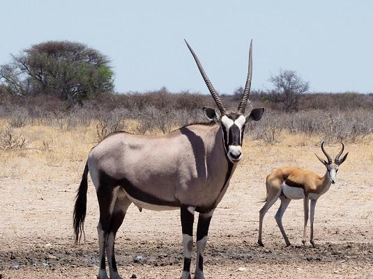 oryx et springbok dans le CKGR Botswana
