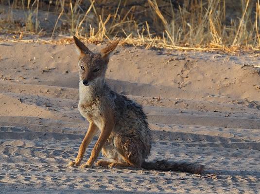 coyote botswana