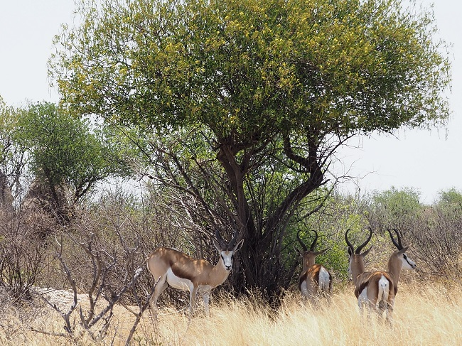 Springbok sous un arbres dans le kalahari ckgr Botswana.  msiafricaroadtrip.com