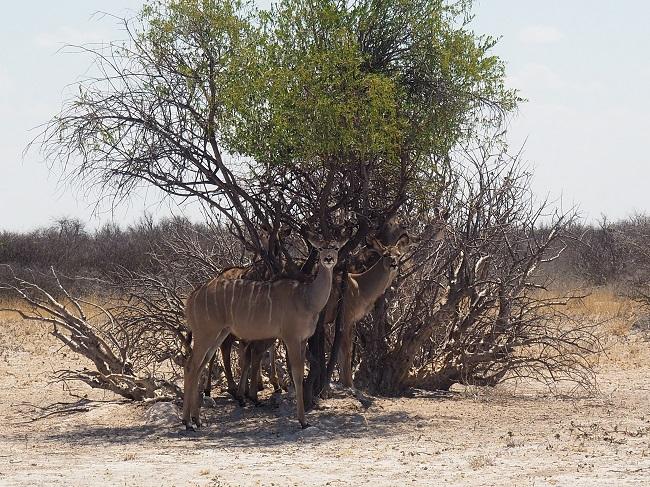 msiafricaroadtrip.com sous des arbustes dans le CKGR Kalahari Botswan