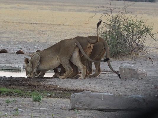 lionnes ckgr botswana