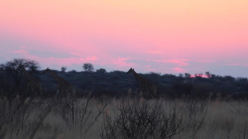 Le  coucher de soleil avec les girafes qui traversaient la savane. Botswana
