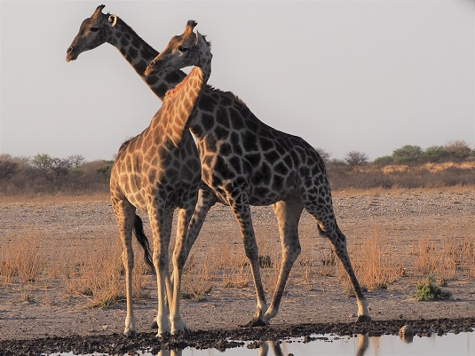 Girafes à Motopi dans le CKGR LE KALAHARI BOTSWANA.  msiafricaroadtrip.com