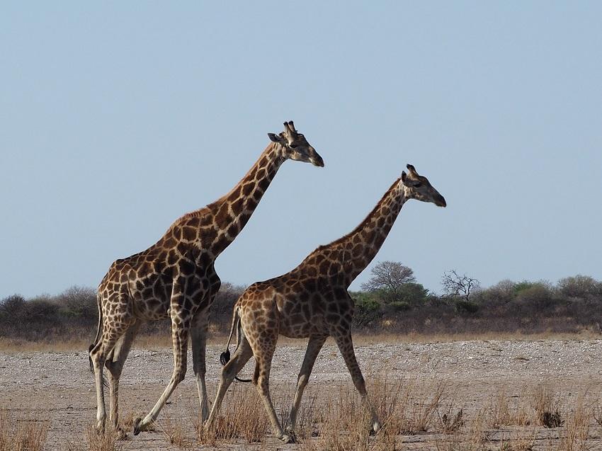 à Motopi 2 girafes botswana