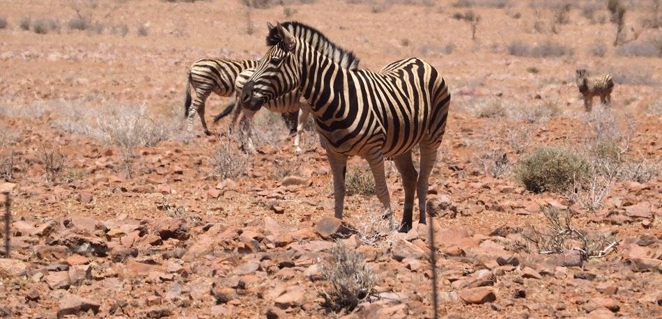des zébres dans le Namib en NAMIBIE
