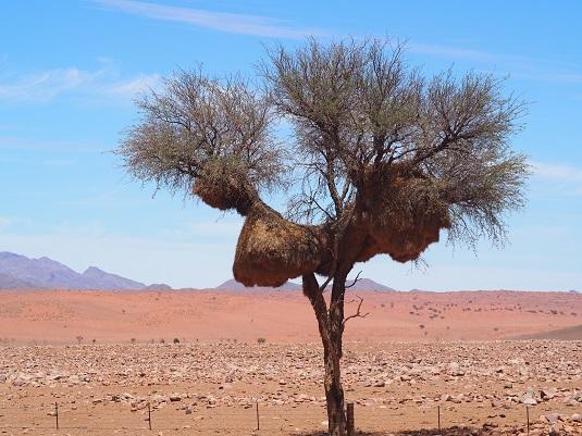 un arbre avec un nid de républicains sociaux dans le Namib en Namibie