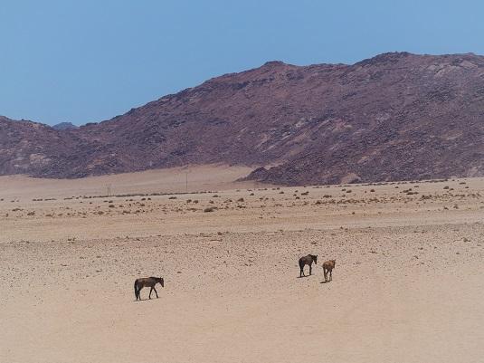 les chevaux sauvages du namib en namibie