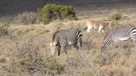 zèbres de montagne le grand karoo afrique du sud