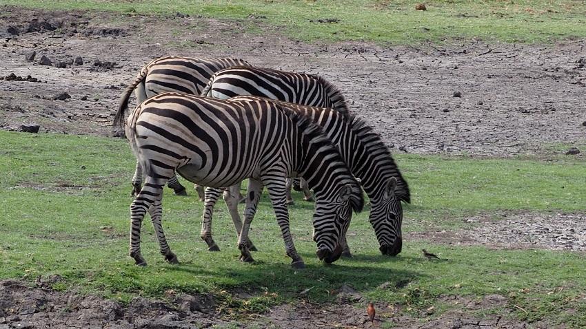 zebres dans le parc CHOBE BOTSWANA