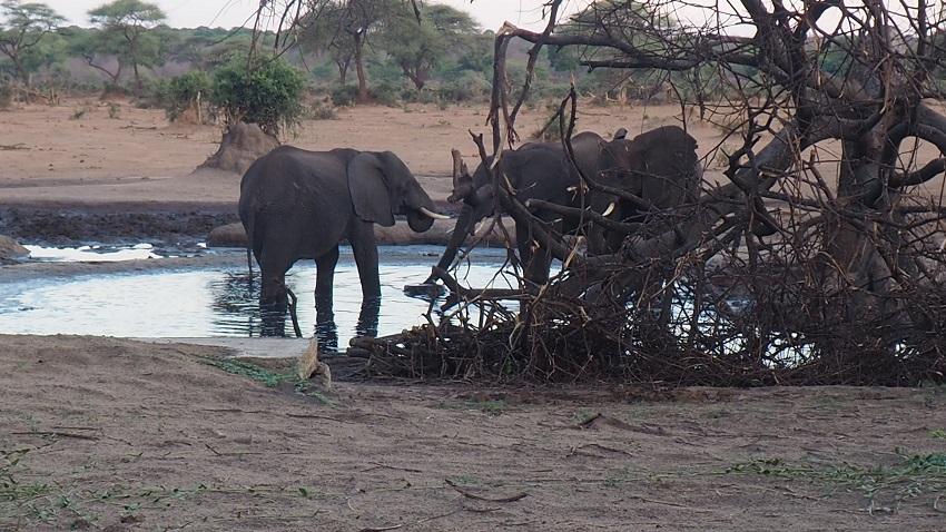 Elephant sur le point d'eau de Senyati Botswana.