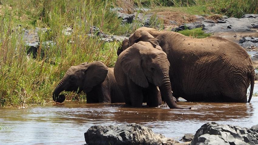 ELEPHANTS AU KRUGER Balule AFRIQUE DU SUD